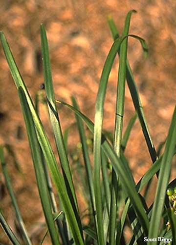 grass botanical name
